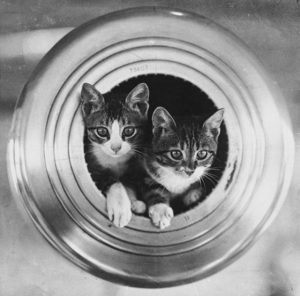 The Ships Cats of HMS Hawkins (c1920)